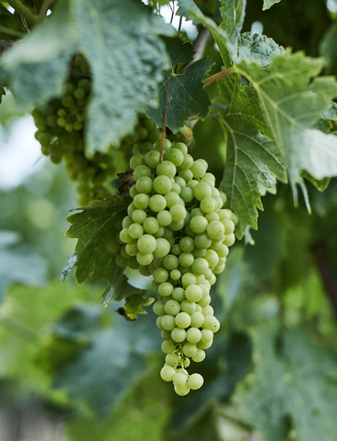 grapes, cognac region